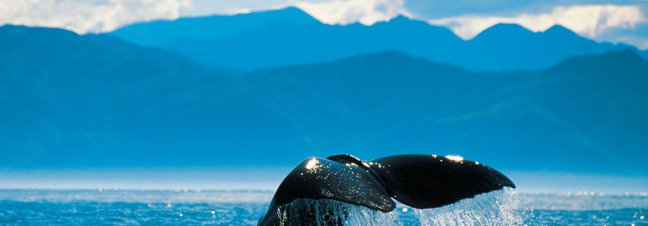 Whale Kaikoura
